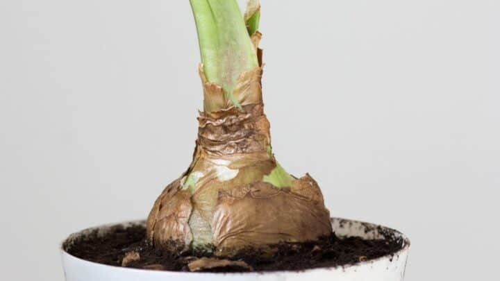 How to Force Amaryllis Bulbs — Everything You Should Know!