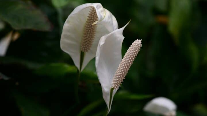 How To Save A Peace Lily That Is Dying? Follow These Steps