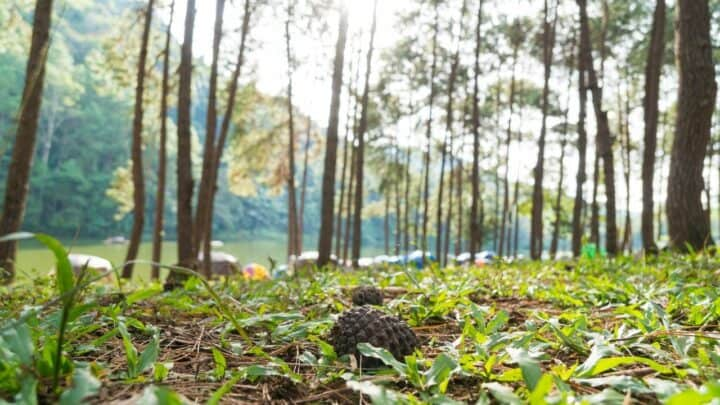 How to Grow Grass Under Pine Trees? Find Out Here!