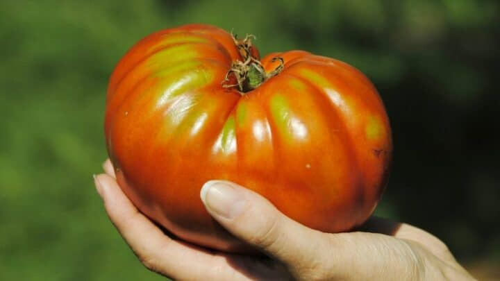 What Is The Biggest Tomato Plant? Whoah!