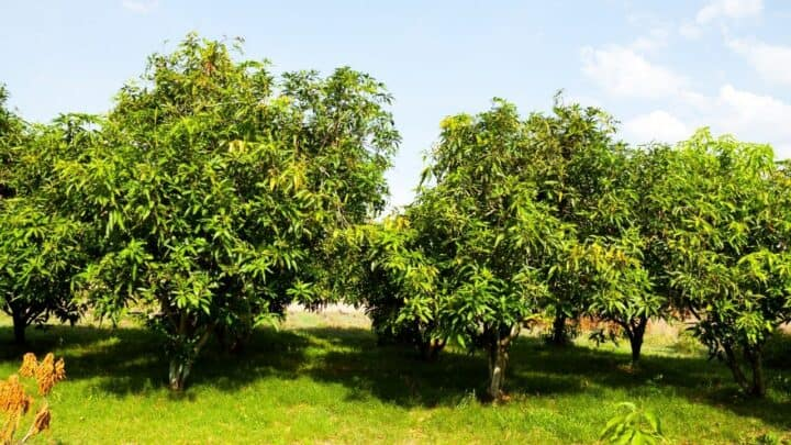 8 Best Fertilizers for Mango Trees — A Buyers Guide