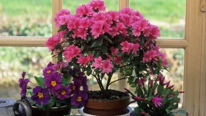 How Far Apart to Plant Azaleas?  I Know!