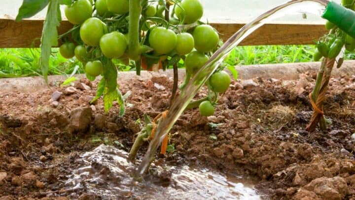 How Much Water Does A Tomato Plant Need Per Day?