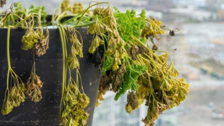 Dying Parsley — Reasons & Remedies