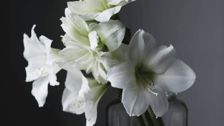 How to Grow Amaryllis in Water? The Answer