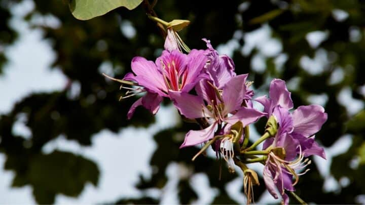 Why Are My Encore Azaleas Not Blooming? Ooh…