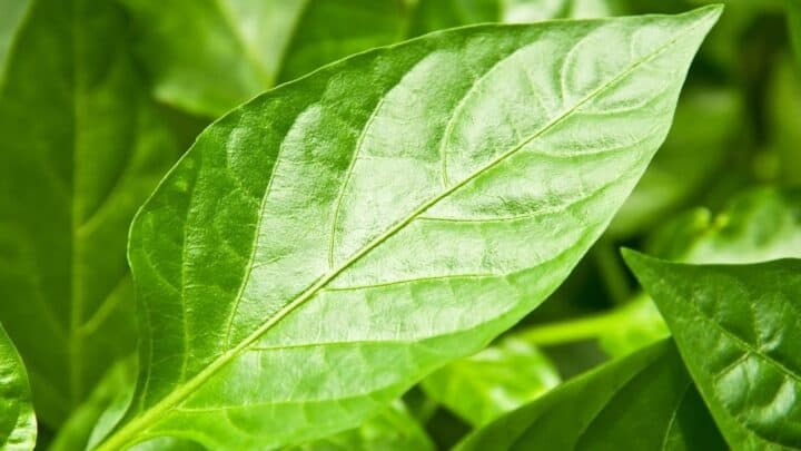 Why Are Pepper Leaves Curling? Here's Why!