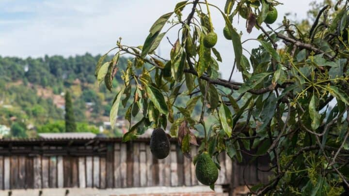 How to Revive a Dying Avocado Tree?