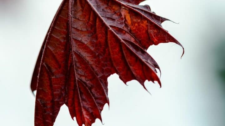 How to Save a Dying Maple Tree? OMG!