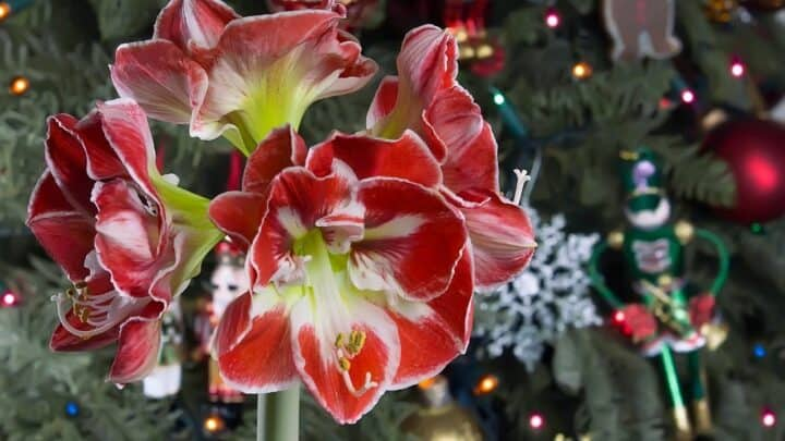When To Start Amaryllis For Christmas? Oh!