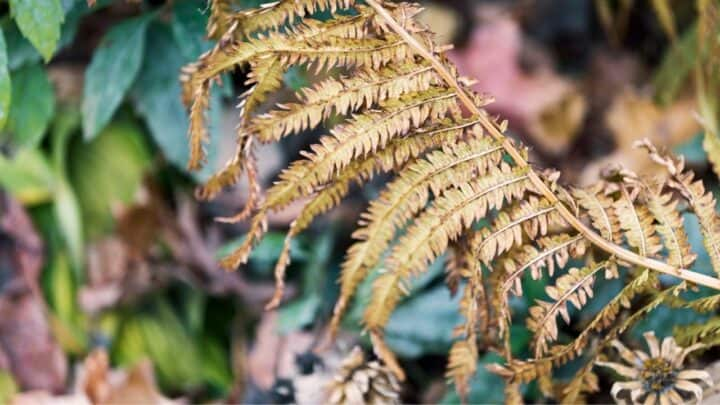 How to Revive a Dying Fern – Tips and Tricks