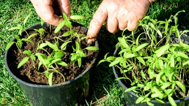 How Many Tomato Plants Per Container — How Many Indeed?