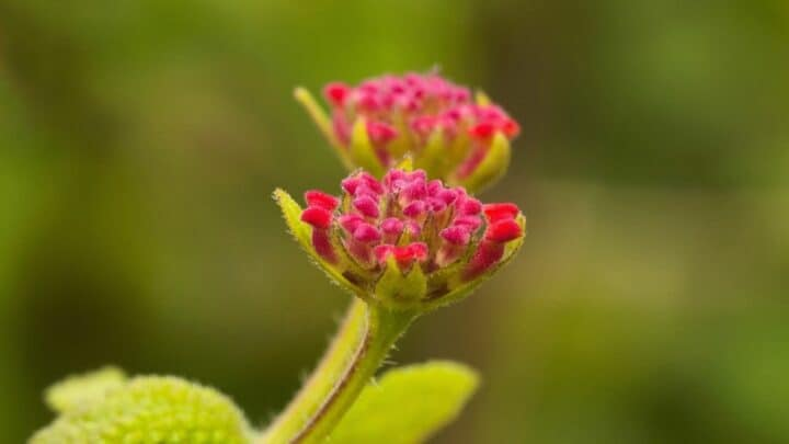 Why Are My Lantana Not Blooming? Check These Out