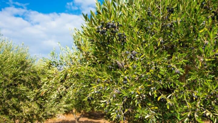 Yellow Leaves in Olive Tree – What to Do