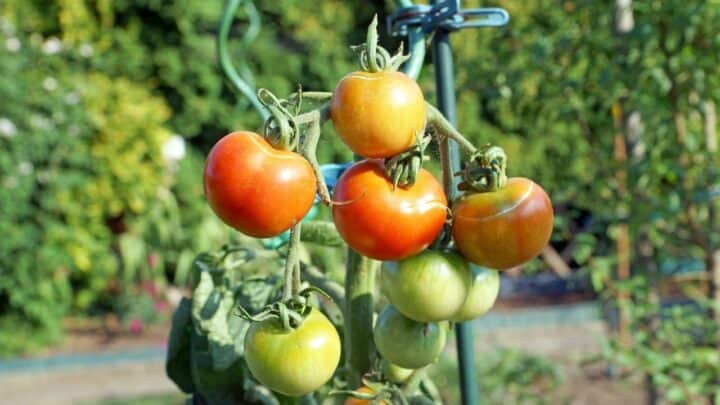 How Do You Fix a Broken Tomato? Here's How!