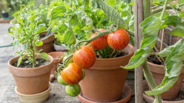 What Temperature Kills Tomato Plants? We'll See!