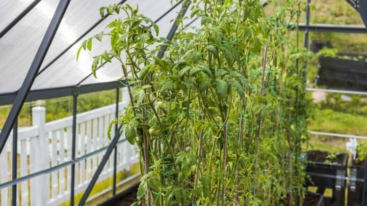 How Long Does A Tomato Take to Grow? — Let's Find Out