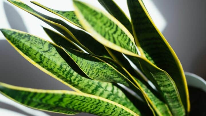Overwatered Snake Plants – All You Need To Know!