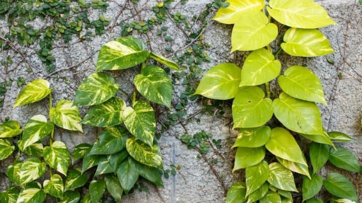 Why is My Pothos Dying After Repotting? — 4 Possible Reasons