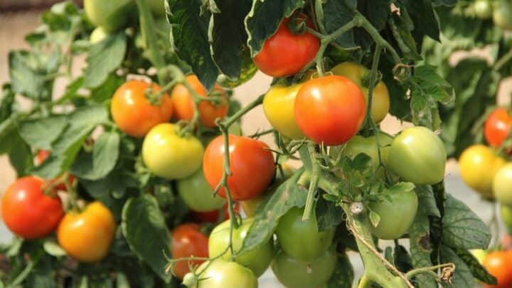 How Long Can A Tomato Plant Live? Let's See!