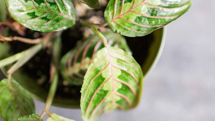 Why Are Prayer Plant Leaves Curling?