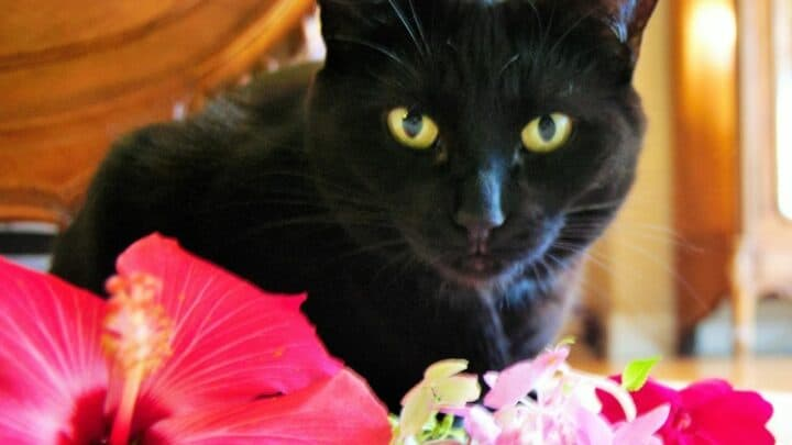 Are Hibiscus Poisonous to Cats? Well…