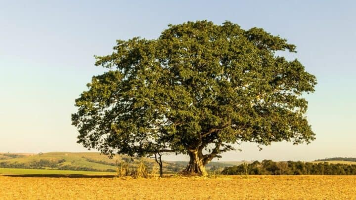 How To Save A Dying Fig Tree ? Best Tips!