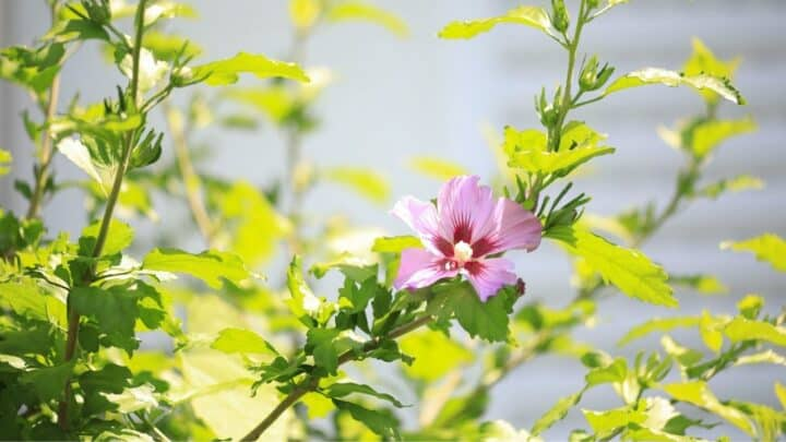 Overwatered Hibiscus — What To Look For