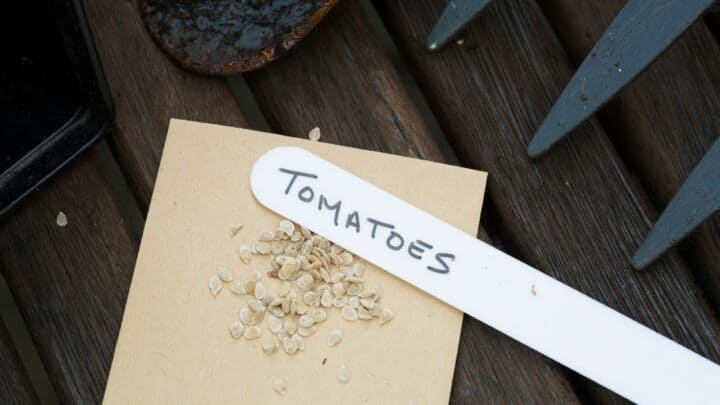 How to Save Tomato Seeds? I Didn't Know That!