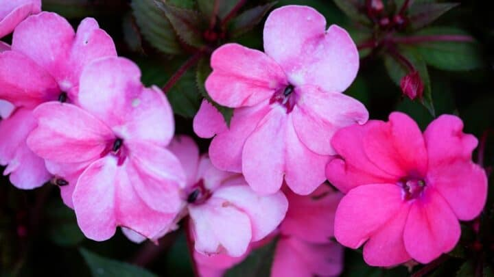 Why are My Impatiens Not Blooming? Things You Should Know