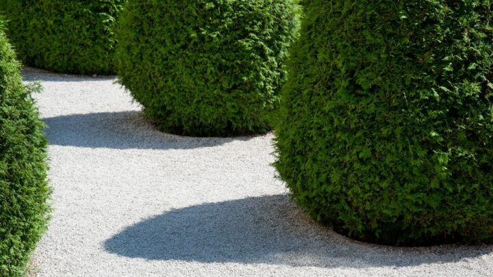 How Far Apart To Plant Arborvitae? Ooh!