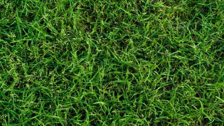 How To Make Bermuda Grass Thicker in 3 Easy Steps