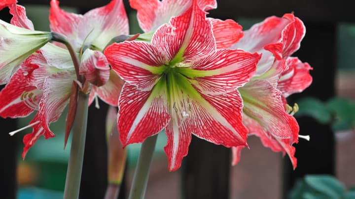 5 Best Fertilizers for Growing Amaryllis –  A Buyers Guide