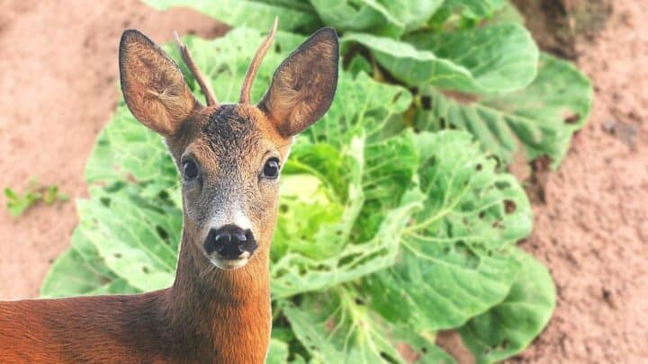 What is Eating My Cabbage Leaves? — Oh, Deer!