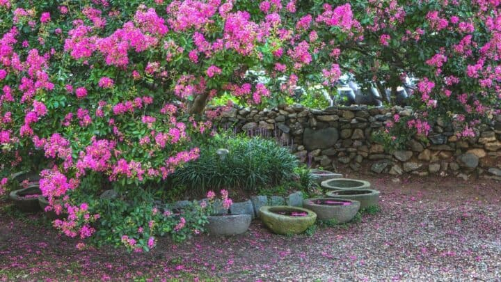 8 Reasons Why Your Crape Myrtle Might not Bloom as Expected