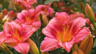 Daylily not Blooming Reasons
