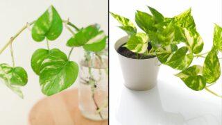 Do Plants Grow Bettter in Water or in Soil
