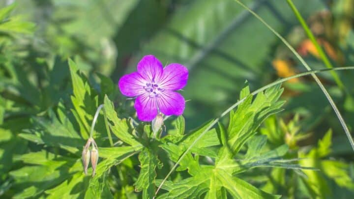 Why is My Geranium not Flowering? — Well, Here's Why