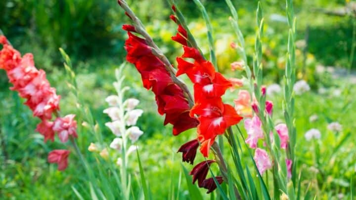 How to Grow Gladiolus — Add a Burst of Color to Your Garden!