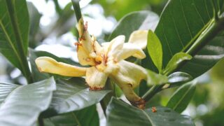 How to Revive a Dying Gardenia