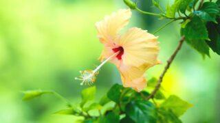 Peach Hibiscus Care