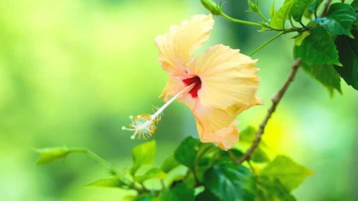 Peach Hibiscus Care — The Complete Guide