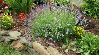 Planting With Lavender
