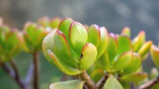 Reasony Your Jade Plant Is Dying