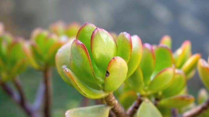 5 Reasons Why Your Jade Plant Is Dying ― And How to Save It!