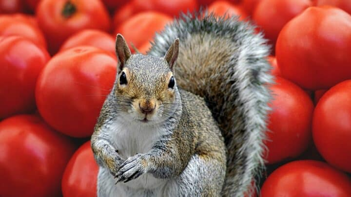 7 Foolproof Ways to Keep Squirrels Away From Tomatoes