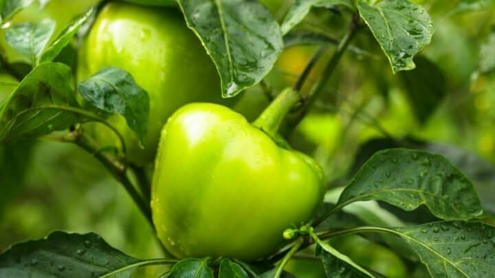 What is Eating My Pepper Plants? — The Answer