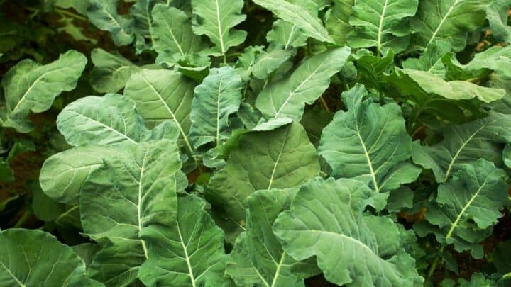 3 Pests that Love to Eat the Leaves of Your Broccoli