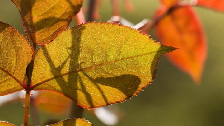What is Eating My Rose Leaves? – Watch Out for These 4 Pests