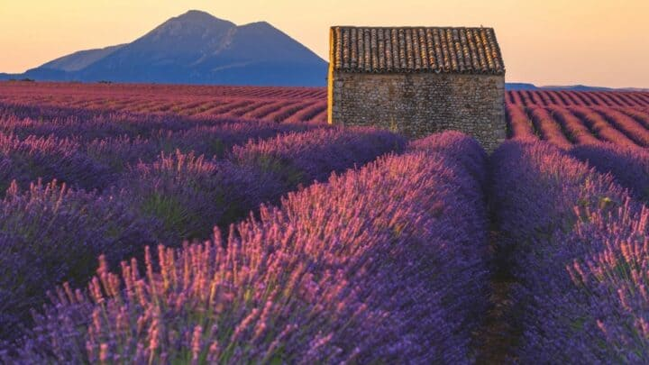 """""""Why is My Lavender Dying?"""" — Well, Here's Why!"""